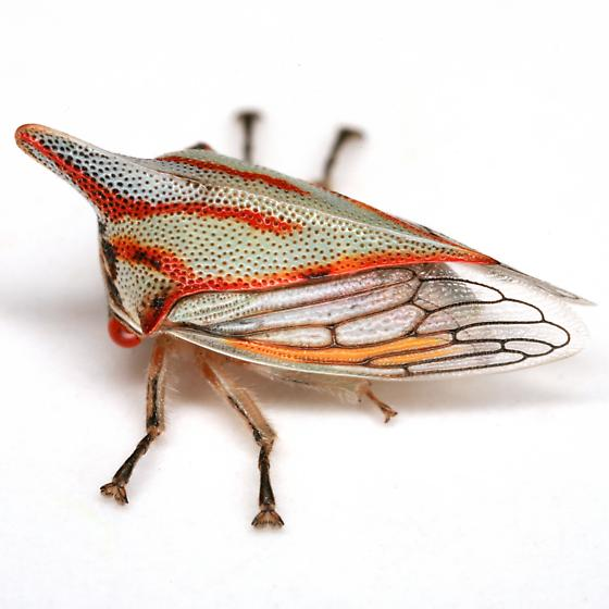 Platycotis vittata (Fabricius) - Platycotis vittata