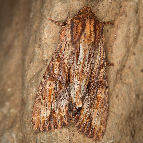 Moth - Apamea atrosuffusa