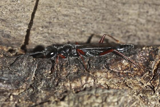 Ischneumon Wasp - Podium rufipes - male