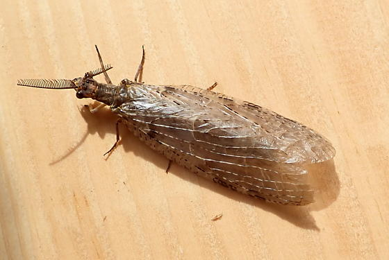 large fly  - Chauliodes pectinicornis