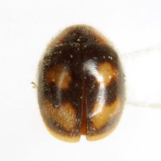 Diomus pseudotaedatus Gordon - Diomus pseudotaedatus