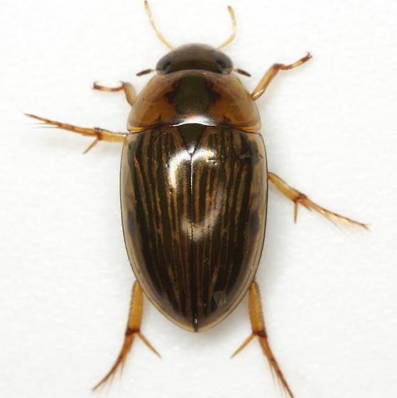 Tropisternus collaris (Fabricius) - Tropisternus collaris