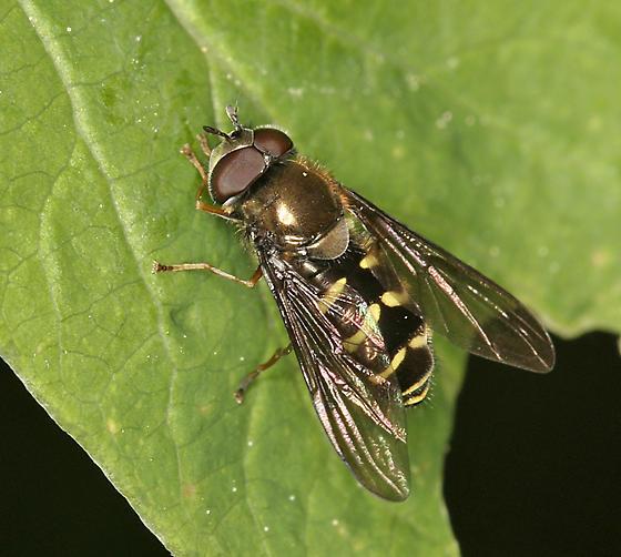 syrphid fly - Dasysyrphus - male