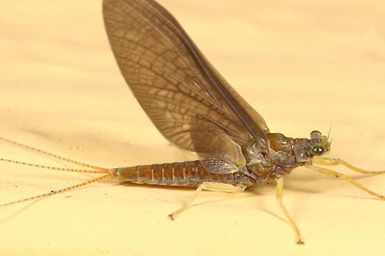 mayfly - Eurylophella prudentalis - female