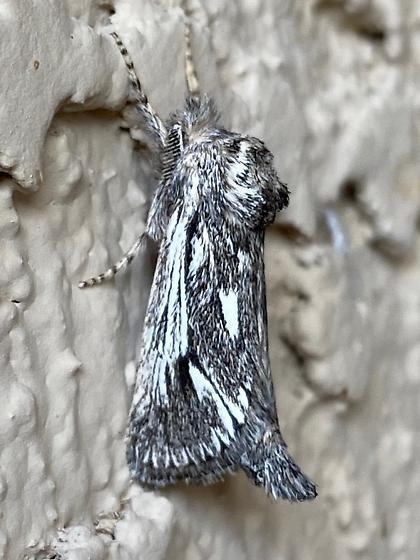 unknown moth species - Hypopta palmata - male