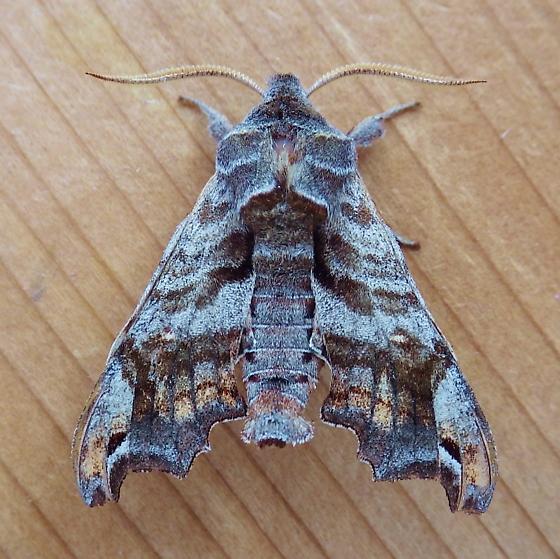 Sphingidae: Deidamia inscriptum - Deidamia inscriptum - male