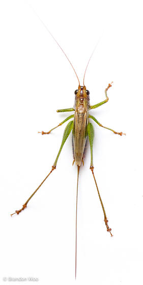 Conocephalus attenuatus - female