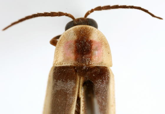 Photinus - male