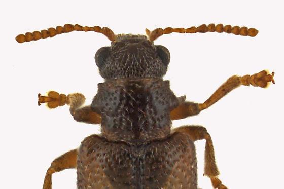 Megalopodid Leaf Beetle - Zeugophora