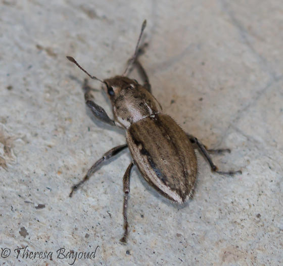 brown bug - Naupactus
