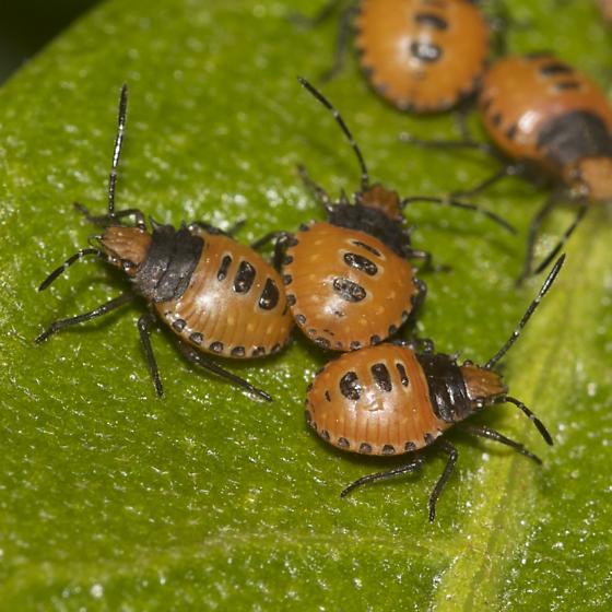 Stink bug nymphs??? - Arvelius albopunctatus