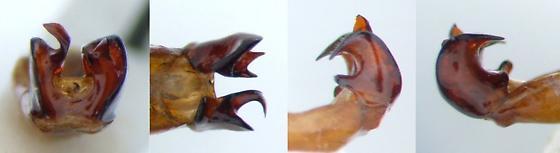 Phyllophaga balia - male