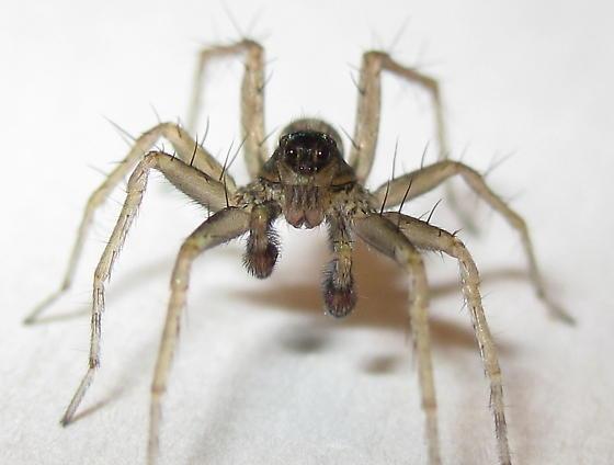 Adult Male - Pardosa distincta - male