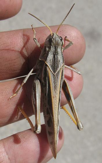 Pardalophora apiculata - female