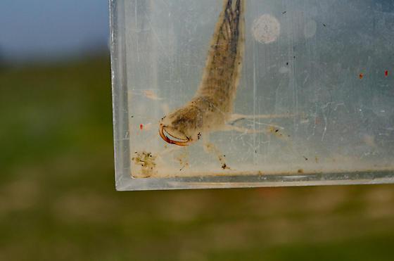 Predaceous Diving Beetle, Family Dytiscidae