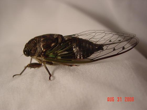 Cicada - Neotibicen similaris