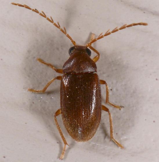 small beetle - Ptilodactyla