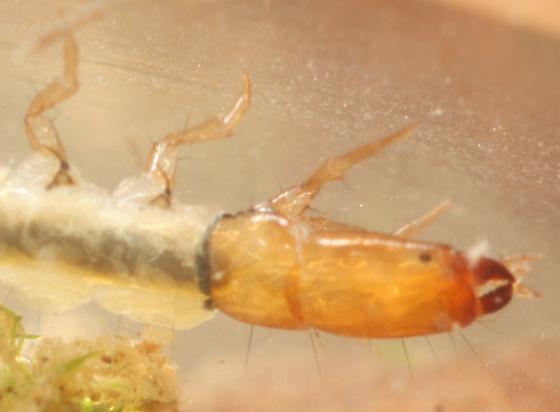 Fingernet - Dolophilodes distinctus