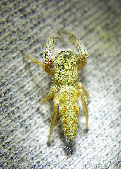M. robusta adult female - Marpissa robusta - female