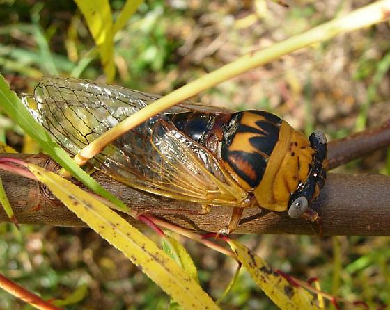 Cicada species - Megatibicen pronotalis