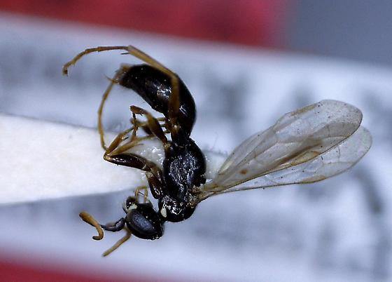 Dipogon fulleri - female