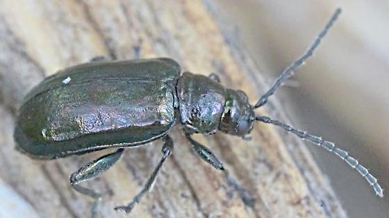 Beetle 7mm - Altica