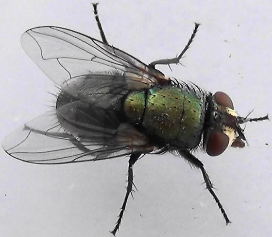 Shiny Green Monster (dorsal) - Lucilia - female