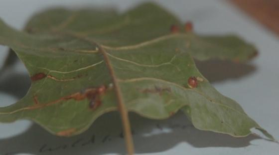 St. Andrews leaf gall on Quercus coccinea SA_G32 2015 4