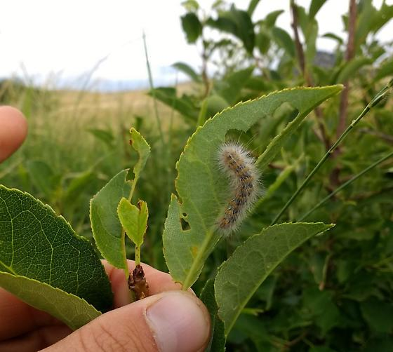 Hairy Lepidopteran Larvae on Chokecherry