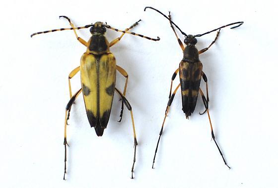 Leptura obliterata - Etorofus obliteratus - male - female