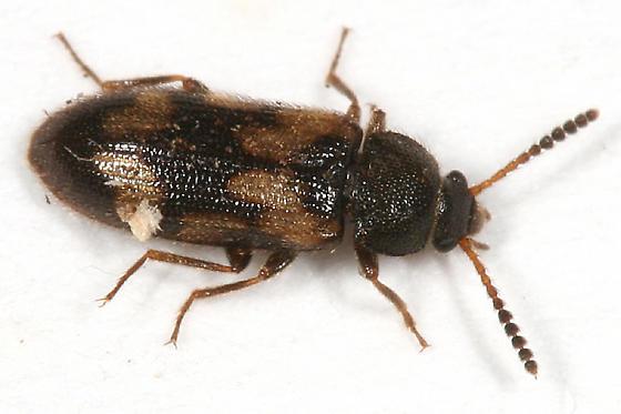 small beetle - Mycetophagus melsheimeri