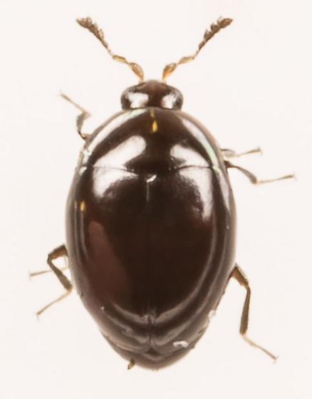Beetle - Orthoperus scutellaris