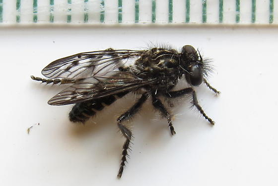 Robber fly ? very small - Eucyrtopogon