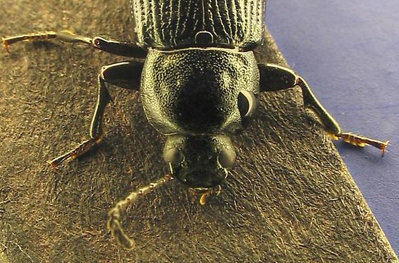 fully colored imago - Centronopus calcaratus