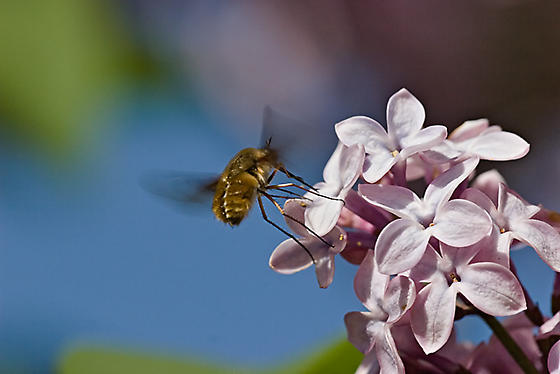 Insect hovering on lilacs - Bombylius