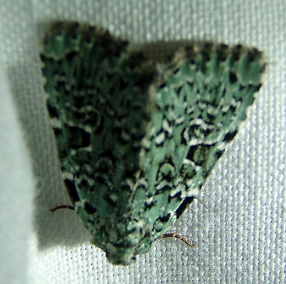 Lichen moth - Leuconycta diphteroides