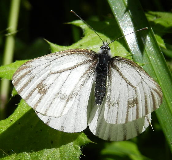 Type of white butterfly - Pieris marginalis - female