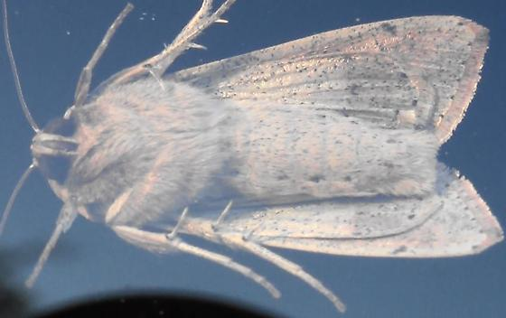 Armyworm Moth with Spines - Mythimna unipuncta