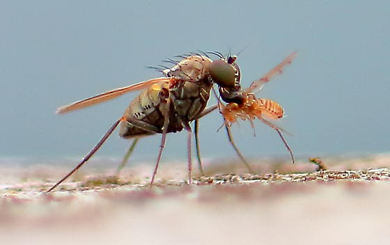 Carnivorous Fly