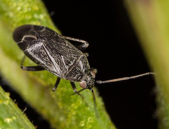 Plant Bug - Plagiognathus