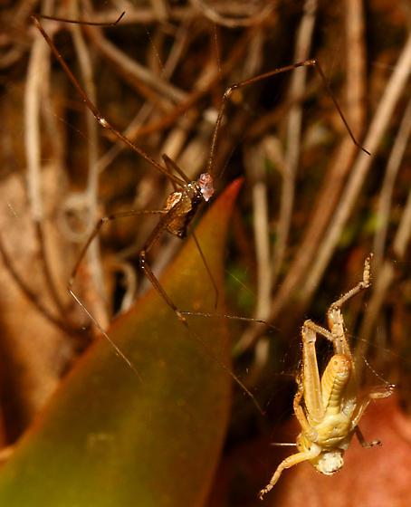 Spider - Holocnemus pluchei