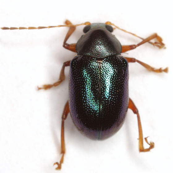 Colaspis arizonensis Schaeffer - Colaspis arizonensis