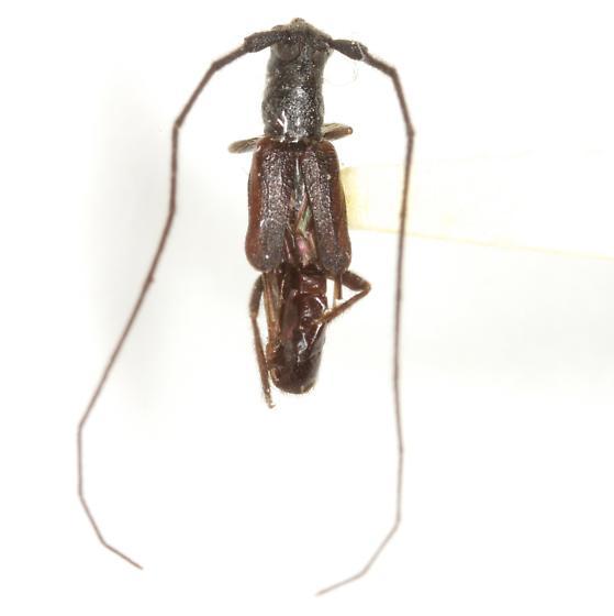 Tessaropa tenuipes (Haldeman) - Tessaropa tenuipes