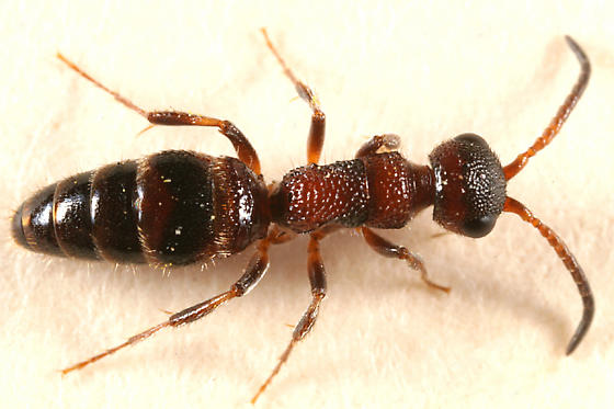 ant-mimic wingless wasp - Myrmosa unicolor