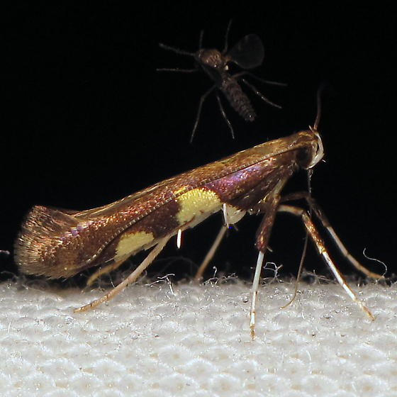 Caloptilia sp. I - Caloptilia
