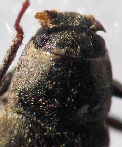 Dryopidae - Helichus