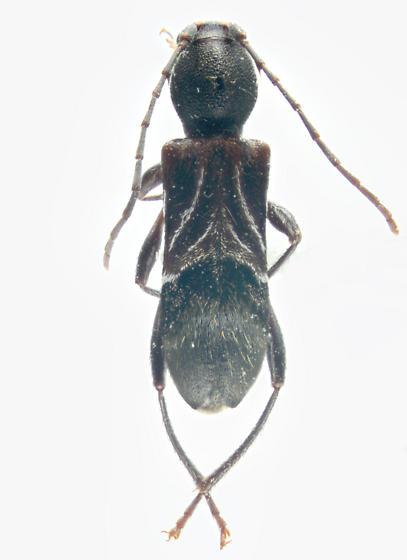 Cerambycidae, dorsal - Cyrtophorus verrucosus