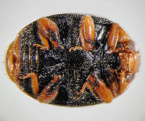 Red-legged Scymninae - Scymnus calaveras - male