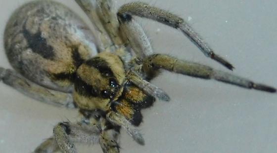 Hogna coloradensis  - Hogna coloradensis - female