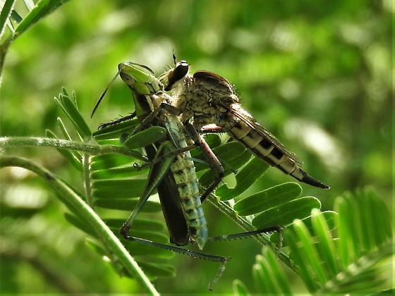 Possibly Promachus nigrilabris?